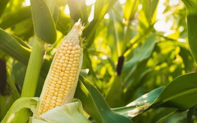 Zea mays to the rescue